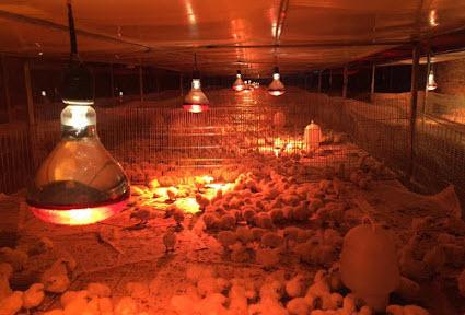 Đèn sưởi hồng ngoại cho gà